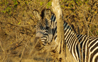 Zebra at the Zebra river